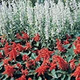 Salvia Farinacea White Victory 100 Seeds Garden Seeds 2u