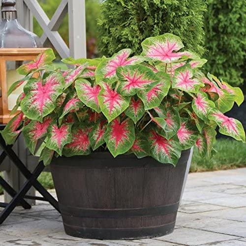 Amazon Com Caladiums Rosebud Bulbs This Variety Really Pops