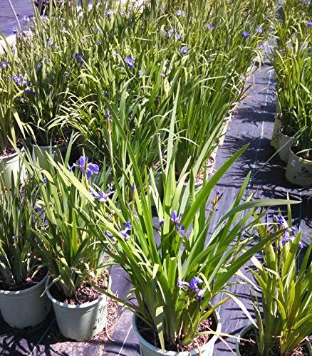 - blue flowers versicolor ((Blue Flag Iris) Perennial, 2 Size Container,