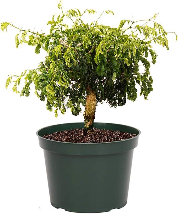 American Plant Exchange Brazilian Rain Tree Pre Bonsai Live Plant 4 Pot Delightful Indoor Air Purifier Garden Outdoor Amazon Com