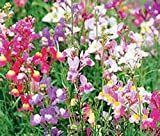 Snapdragons Fairy Bouguet, Linaria Maroccana Seeds, (600+) Beautiful Mix of Bright Colorful Blooms
