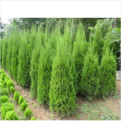 Semillas hotSelling Cypress Bonsai árboles de coníferas Semillas jardín de DIY 20pcs / bolsa: Amazon.es: Jardín