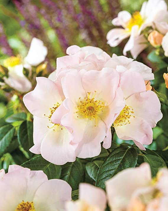 4a9befe449ab Amazon.com   Spring Hill Nurseries - Sally Holmes Climbing Rose Super Pack!  5 Bareroot Rose Plants with White Colored Flowers (5-Pack)   Garden    Outdoor
