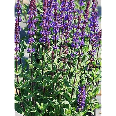 Perennial Farm Marketplace Salvia n. 'Caramia' (Sage) Perennial, Size-#1 Container, Violet-Purple Flowers: Garden & Outdoor
