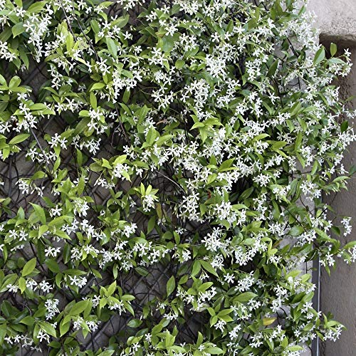 Cottage Hill Star Jasmine - 2 Piece Live Plant, White Blooms by Cottage Hill (Image #1)