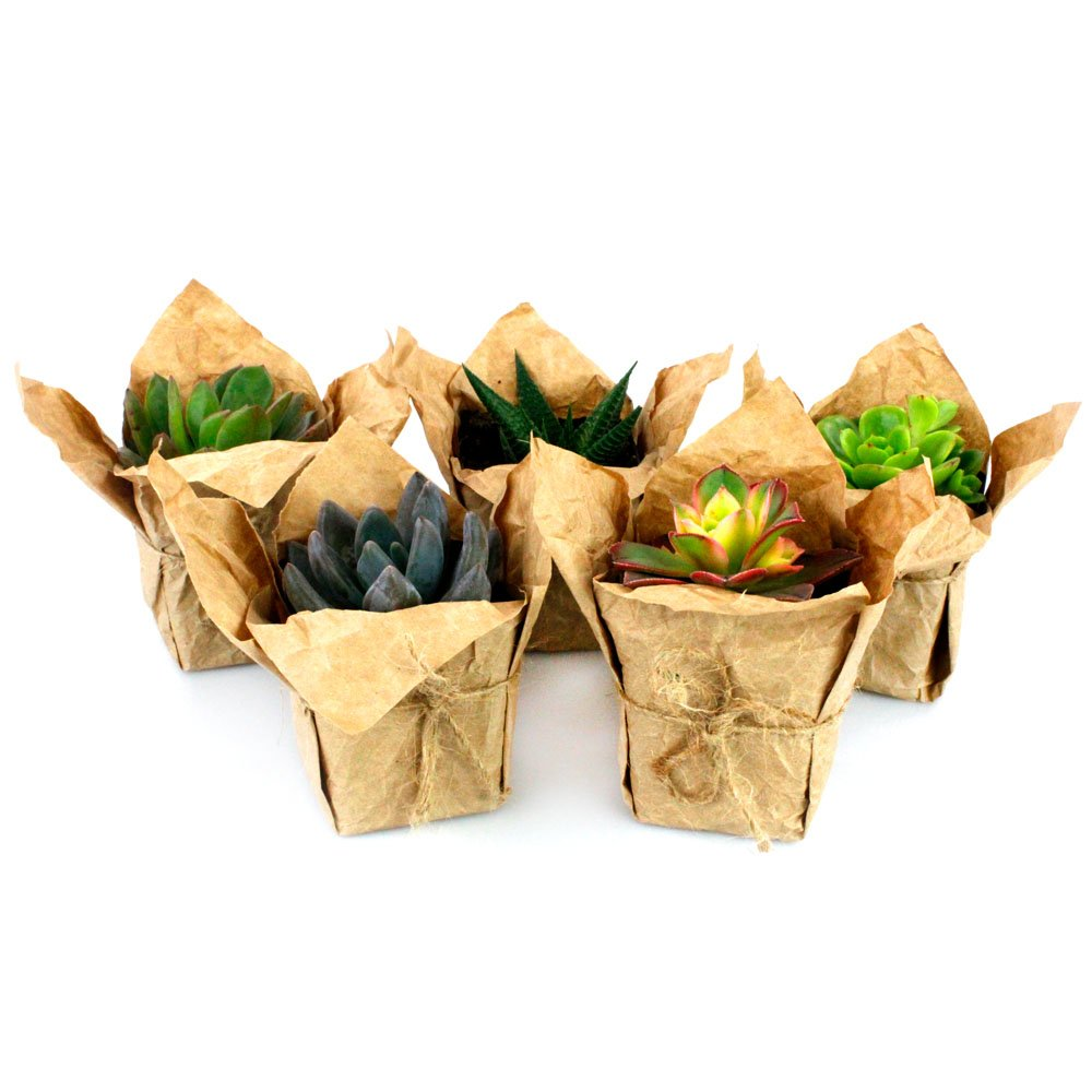 NW Wholesaler - Bulk Succulents with Craft Paper, Burlap String, and Personal Cards for Wedding or Party Favors (50) by NW Wholesaler (Image #2)
