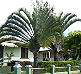 Triangle Palm Dypsis Decaryii 15 Seeds Beautiful Feather Palm From Madagascar