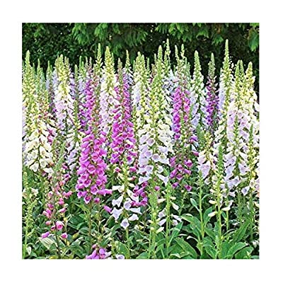 Foxglove Seeds - Gloxiniaeflora Mixed Colors - Approximately 20, 000 Fine Seeds : Garden & Outdoor