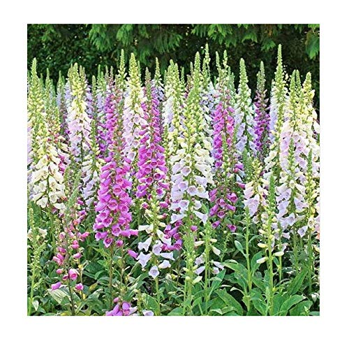 Foxglove Seeds - Gloxiniaeflora Mixed Colors - Approximately 20,000 Fine Seeds