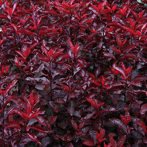Purple Leaf Sand Cherry Tree - Heavy Established Roots - Flowering - One Gallon Potted - 1 Plant by Growers Solution