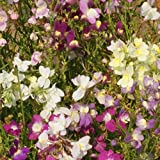 Outsidepride Toadflax Seed - 1/4 LB