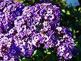 HOT - Heliotrope - Extra Dwarf Marine - 130 Seeds - Heliotropium Arborescens - Flower