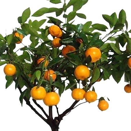 30 Stk Verkauf Obst Citrus Orange Bonsai Tree Seeds Hausgarten