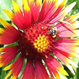 Indian Blanketflower Seed Balls (Gaillardia pulchella) Seed Bombs for Guerrilla Gardening (20)