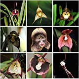 (Monkey 25 Type *Ambizu*) Perennial Dracula Simia Monkey Face Flower Seeds, 1 Professional Pack, 100 Seeds / Pack (MOF 01 Mix 9)