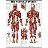Dimensional Man//life-size Pop-up Figure-wall Chart