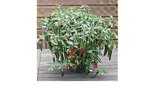 10 Seeds Hybrid Hot Pepper CAYENNETTA Hot Pepper Seeds