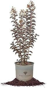 Black Diamond Pure White Crape Myrtle, Live Plant, Includes Special Blend Fertilizer & Planting Guide (3 Gallon)