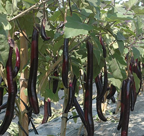 """Organic Non-GMO ( Ping Tung Long Eggplant) 12-18"""" fruit ,Don't need to be peeled ()"""