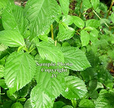 Egyptian Spinach 30 seeds! Sun or Shade perennial herb Ancient green from Middle East Corchorus olitorius Nalta Jute