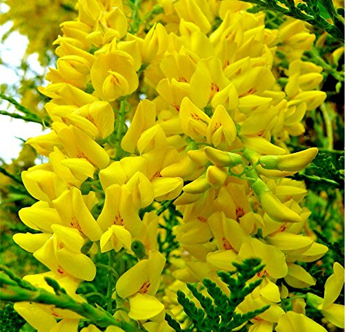 - GOLDEN CHAIN TREE 68 SEEDS HARDY BEAUTIFUL FAST GROWING BLOOMING TREE EZ TO GROW