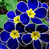 100 Pcs Blue Evening Primrose Flowers Colorful Mixed Seeds Bonsai Plant Garden Balcony Ornamental Home Primula Malacoides Flower Blue