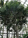 Rare Live Madagascar Screw Pine Plants, 1 Gallon