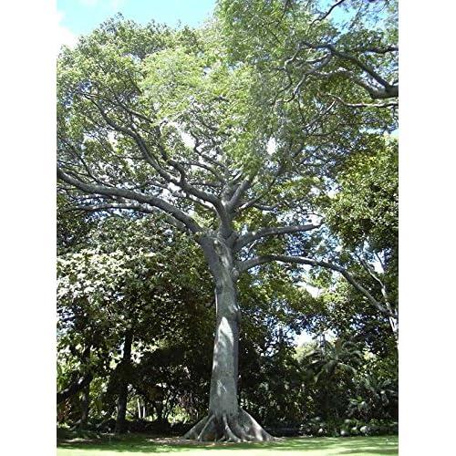 Discount Kapok (Silk Cotton Tree), Ceiba Pentandra, Tree 20 Seeds for sale