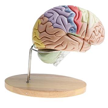 F Fityle Vergrößerung 2X Menschen Gehirn Brainstem Medianschnitt ...