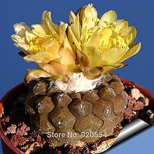 semillas reales, 20pcs / semillas de cactus mucho, Copiapoa hypogaea planta de los bonsai plantas suculentas jardín de DIY el envío libre
