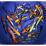 Blue Ridge Koi Grade AA Butterfly Fin Koi Live Pond Fish for Aquarium and Tank, Healthy and Bio-Secure – Live Arrival Guarantee