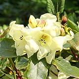 Rhododendron Goldika - 1 strauch