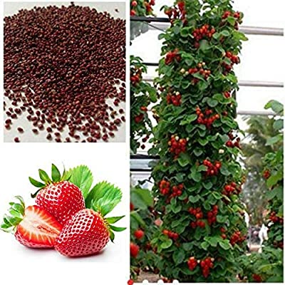 200PCS Strawberry seeds,Giant Strawberry Organic Seeds Plants Sweet Fruit Of Perennial Rare,Organic Sweet Fruit Yard,Giant Strawberry Organic Seeds: Kitchen & Dining