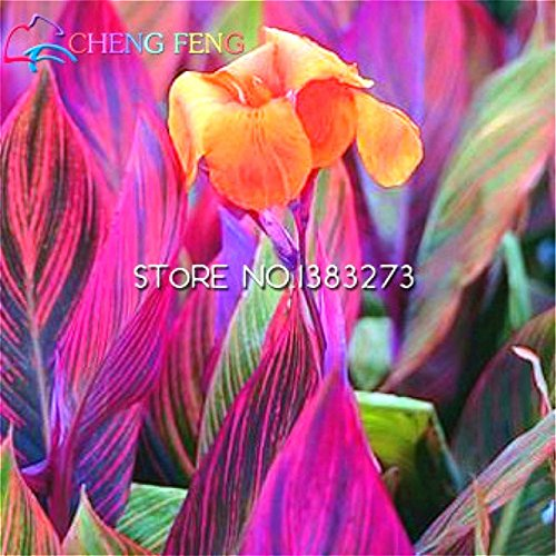 Seeds Shopp 10 Pcs Canna Seeds Beautiful Flower Seed Mix Indica Lily Plants Garden Bulbs Flowers Outdoor Potted Bonsai Flores . Home Gift (Canna Lily Flowers)