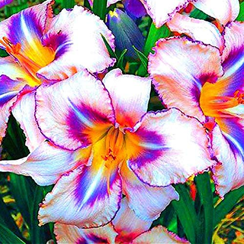 Daylily Seed 100Pcs Hybrid Daylily Seed Holland Rainbow Bonsai Flower Seed Hemerocallis Lily Delicious Healthy Vegetable Can Eat ()