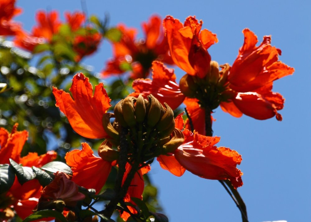 SAFLAX Tulip/án africano 30 semillas Spathodea campanulata
