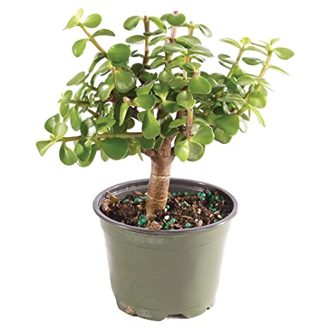 Brussels Bonsai Live Gensing Grafted Ficus Indoor Bonsai Tree Medium 6 Years Old 8 To 12