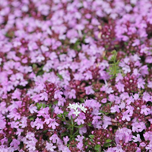 "0.1g (Approx. 700) Creeping Thyme Seeds Bot.: ""Thymus ..."