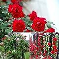 100PCS Climbing Rose Seeds Rosa Multiflora Perennial Fragrant Flower New (Red)