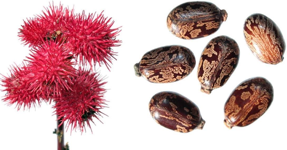 Palma Christi - 20 Samen Wunderbaum - Ricinus communis