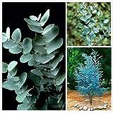 9GreenBox - Cider Gum Eucalyptus Herb 20 Seeds - Eucalyptus gunnii