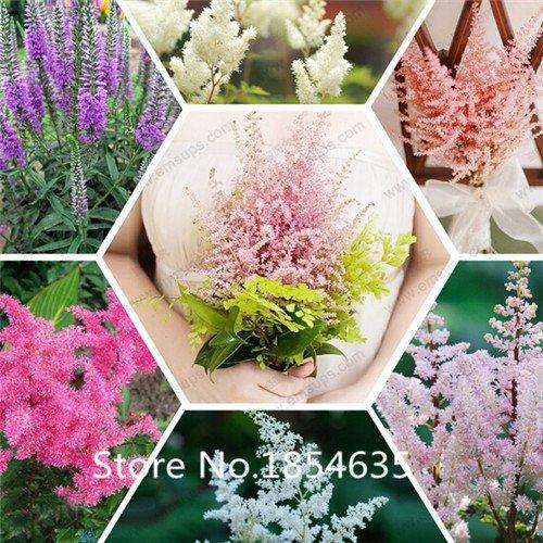 L'alta qualità 100 semi Astilbe (fiore rosa cottage) - perfetto fiore pianta di colore della miscela per il giardino all'ombra, SVI