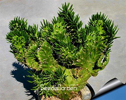 ! Venta 10 piezas / bolsa de semillas de cactus ser celestial - Semillas de plantadores de los bonsai semillas de plantas en maceta anti-radiación, # RCFVP0 SVI