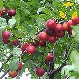 CHERRY PLUM Prunus Cerasifera / Myrobalan - 8+ SEEDS