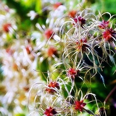 Clematis Old Mans Beard Seeds (Clematis vitalba) 50+Seeds (50 Seeds) : Garden & Outdoor
