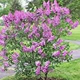 FRENCH LILAC SYRINGA VULGARIS fragant BULK 150 seeds