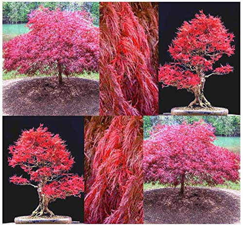 Burgundy lace - 10 Seeds: Burgundy lace, Green lace Leaf, red lace Leaf, Japanese red Maple - acer Seeds ()