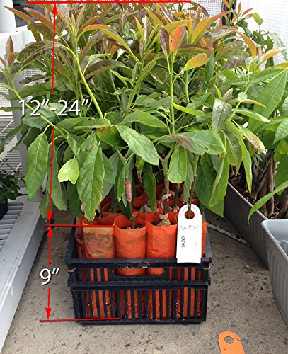 Hass Avocado Tree, Grafted - Live Avocado Tree by Unknown (Image #4)