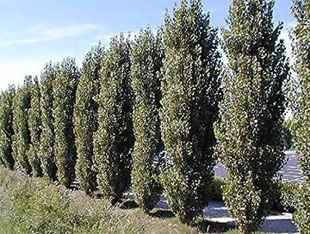 Amazon.com: 10 cortadores de álamo Lombardy, árbol único y ...