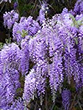 ROYAL PURPLE WISTERIA - FRAGRANT WISTERIA 2 - YEAR PLANT